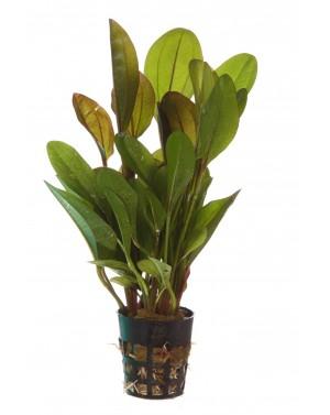 Echinodorus frank stoffer