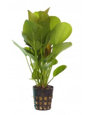 Echinodorus opacus