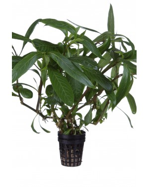 Hygrophila salicyfolia