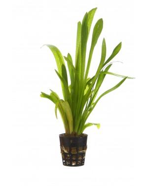 Sagitaria platyphylla