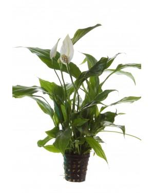 Spatyphylum walishii