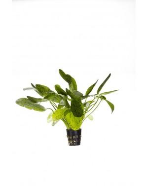 Echinodorus green ocelot