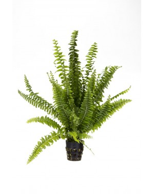 Polypodium species