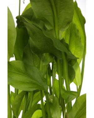 Alisma plantago-aquatica