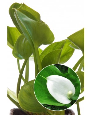 Calla palustris