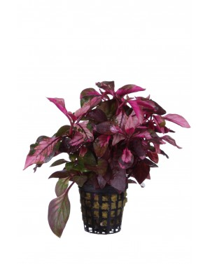 Alternanthera colorata