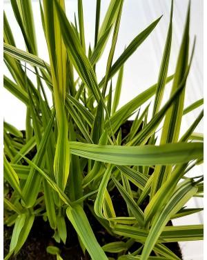 Phalaris arundinacea 'Pure-Gold'