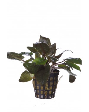 Cryptocoryne species